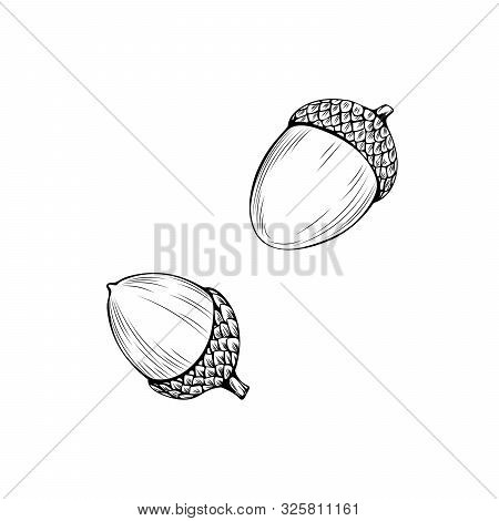 Natural Acorns Hand Drawn Vector Illustration. Thanksgiving Day, Autumn Season, Botany Outline Symbo