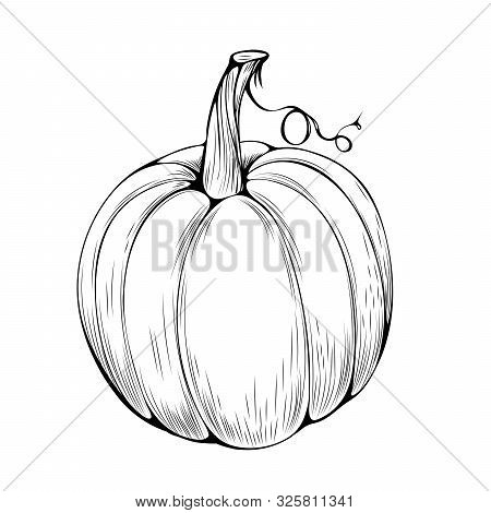 Natural Pumpkin Hand Drawn Vector Illustration. Autumn Holiday, Thanksgiving, Halloween Outline Symb