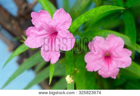 Pink Ruellia Simplex Or Mexican Petunia Flowers