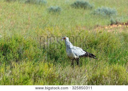 Secretary Bird, Sagittarius Serpentarius In Green Kalahari, Desert After Rain Season. Kalahari Trans