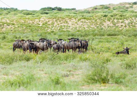 Herd Of Wild Blue Wildebeest Gnu In Kalahari, Green Desert After Rain Season. Kalahari Transfrontier