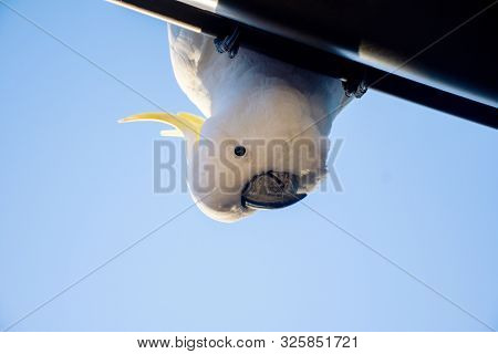 Curious Sulphur-crested Cockatoo Looking Down From The Roof. Urban Wildlife. Backyard Visitors.