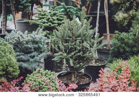 Christmas Tree Shop. Christmas Trees Spruce In Pots For Sale. Various Evergreen Conifers Trees In Po