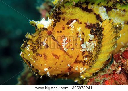 Close-up Of A Yellow Leaf Scorpionfish (taenianotus Triacanthus, Aka Leaf Fish, Paperfish). Padang B