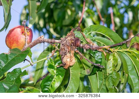 Sick Leaves And Peach Fruits In The Garden On Tree Close-up Macro. Peach Orchard Disease Concept
