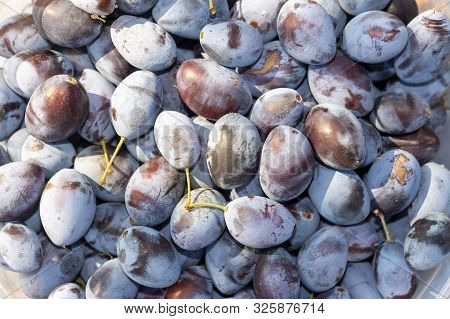 Ripe Blue Plum Fruits Close-up Macro. Harvesting In Fall. Background Texture
