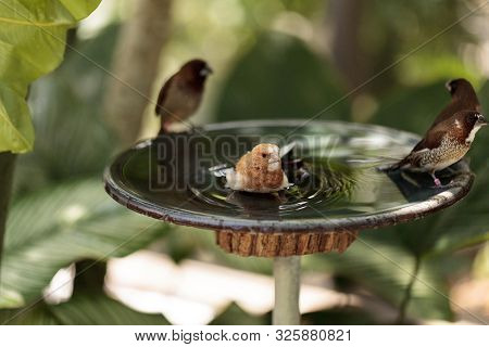 Society Finch Lonchura Striata Domestica Bird In A Bird Bath