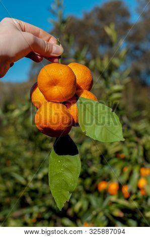 Mandarin Tree Branches With Ripe Fruits. Mandarin Orange Tree. Tangerine. Hand Holding Mandarins. Pi