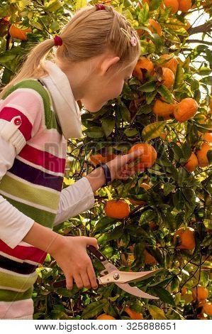 Mandarin Tree Branches With Ripe Fruits. Mandarin Orange Tree. Tangerine. A Girl Holding Scisors To