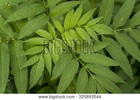 Leaves Of An Ash Tree (fraxinus Excelsior)