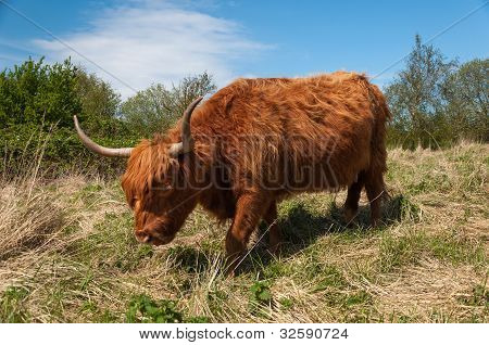 Highland cow with long horns and winter coat. poster