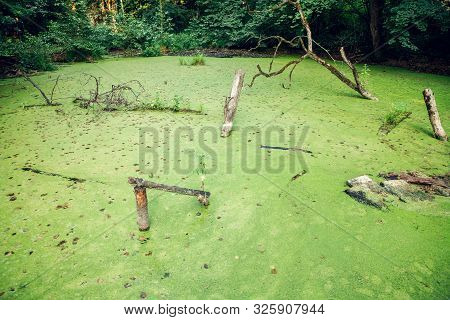 Overgrown Water In The Swamp. Swamp In The Forest