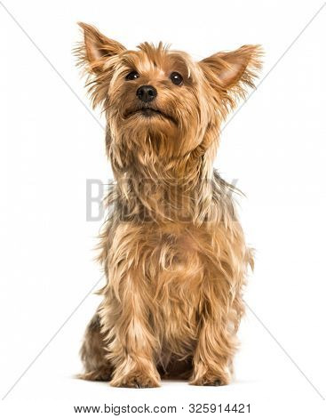 Yorkshire terrier sitting against white background