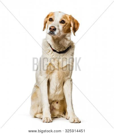Mixed-breed dog sitting against white background
