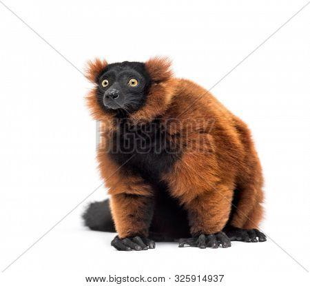 Red ruffed lemur, Varecia rubra, sitting against white background