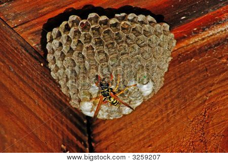 These insects do the nests in the secluded place. In this case it is located under the lid of old abandoned beehive. There are the evidently glued eggs in overhead honeycombs. Hardly below are evidently brilliant heads of developing insects. Down is close poster