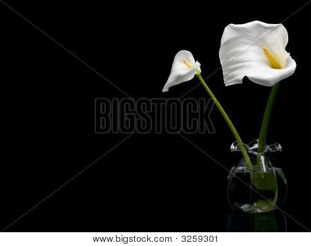 Two White Callas