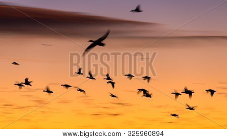 Sandhill Cranes Flying At Bosque Del Apache National Wildlife Refuge At Sunset