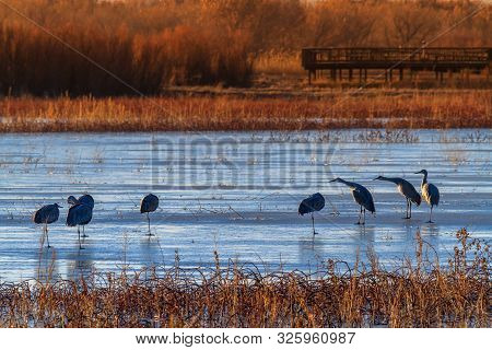 Sandhill Cranes At Bosque Del Apache National Wildlife Refuge, Nevada