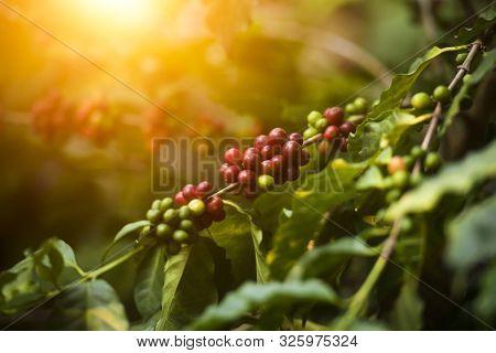 Arabica Coffee Tree On Coffee Tree, Coffee Bean On Coffee Tree Planted In Northern Vietnam