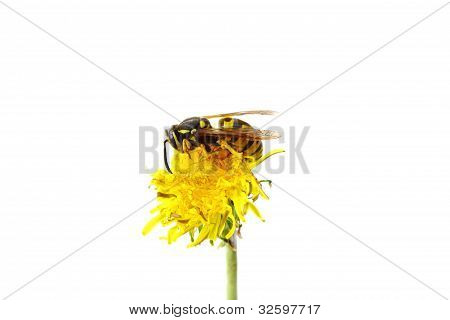 Wasp On Flower