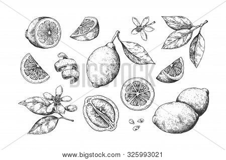Hand Drawn Lemon. Vintage Citrus Slices Blossom And Fruits, Lemon And Lime Pencil Outline Sketch For