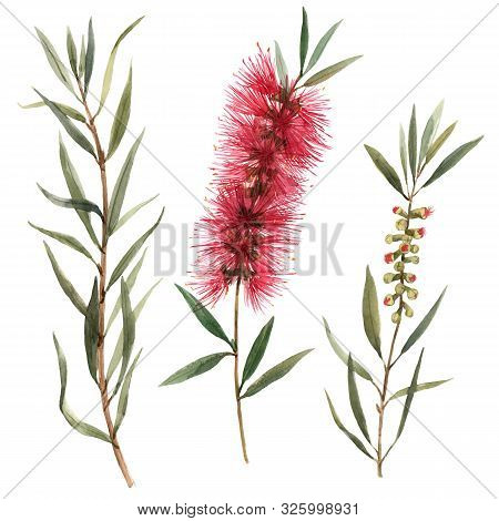Beautiful Illustration With Hand Drawn Isolated Watercolor Australian Callistemon Red Bottlebrush Fl