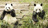 two giant pandas feeding at Chengdu Panda Breeding and Research Center poster