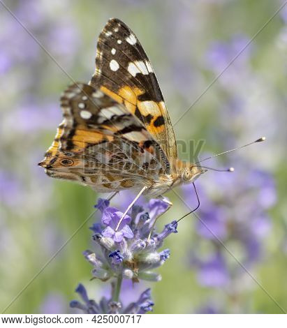 The Painted Lady (vanessa Cardui) Sitting On The Lavender Flower In The Summer. Close Up. Macro.