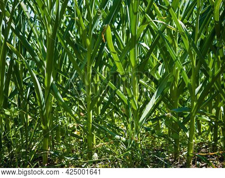 Green Abstract Background Of Growing Garlic Stalks.