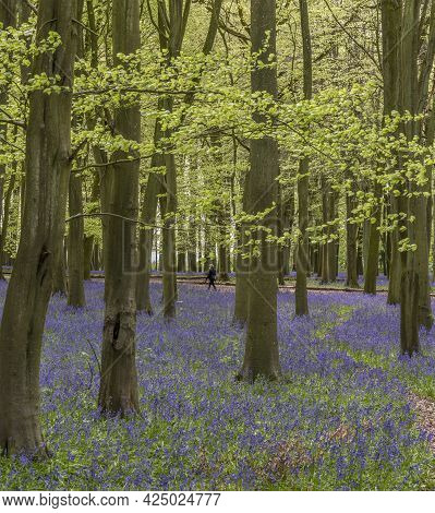 Lovely Soft Spring Light In Bluebell Woodland With Vibrant Colors And Dense Beech Trees Landscape