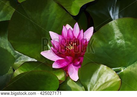 Lotus Crimson Flower Floating In Pond. Pink Lotus Flowers And Leaves On A Pond. Close-up.