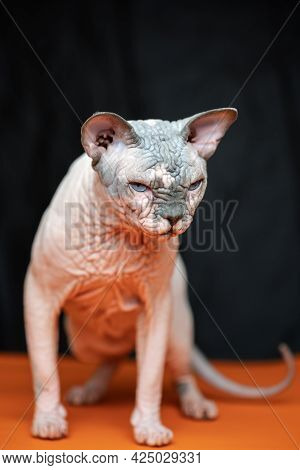 Lovely Canadian Sphynx - Breed Of Cat Known For Its Lack Of Fur. Portrait Of Hairless Male Cat On Bl