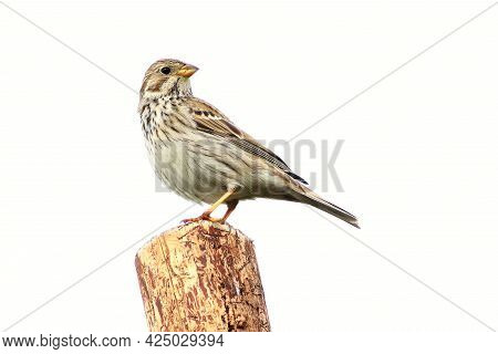 The Corn Bunting (emberiza Calandra) Sitting On The Grean  Branch. Not Common, But Very Rear Big Son