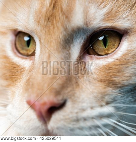 Extreme Close-up Portrait Of Red Tabby Maine Coon Cat Looking At Camera. Smart Red Tabby American Fo
