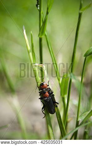 Macro Image Beetles Mate In The Grass