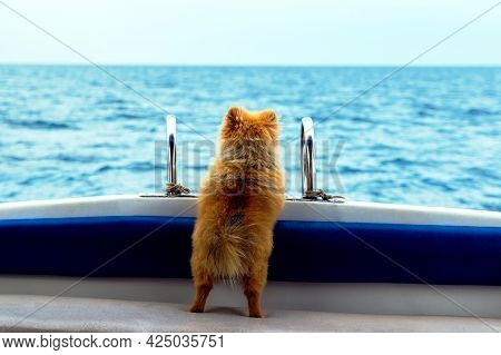Dog Waiting For Owner. A Lonely Dog Is Waiting For His Master On A Boat. The Little Pomeranian Spitz