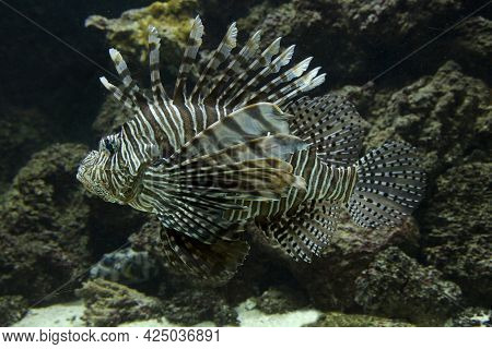 The Common Lionfish, Devil Firefish (pterois Miles).