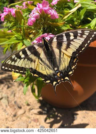 Beautiful Monarch Butterfly Enjoying The Nectar Of A Small Pretty Pink Flower In A Pot During Summer