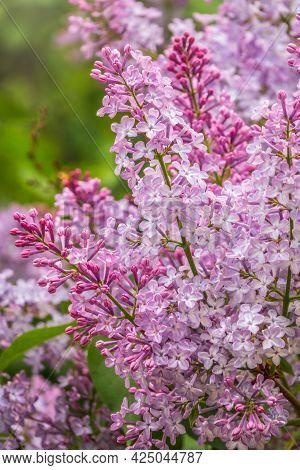 Pink Blooming Lilac Flowers In Spring With Blured Background