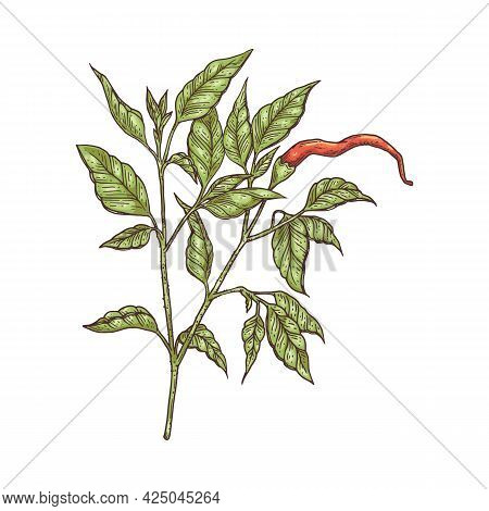 Branch Of Chili Pepper With Red Pod Engraving Vector Illustration Isolated.