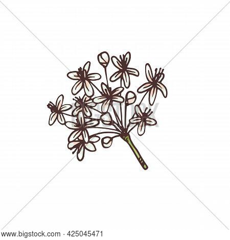 Ginseng Inflorescence, Hand Drawn Engraving Vector Illustration Isolated.