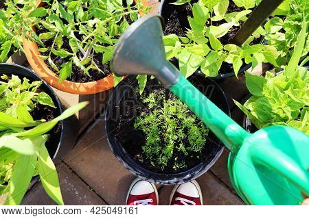 Flower, Tomatoes, Carrots, Beans Growing In Container. Women Gardener Watering Plants. Container Veg