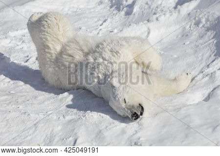 Polar Bear Cub Is Lying And Basking On The White Snow. Ursus Maritimus Or Thalarctos Maritimus. Anim