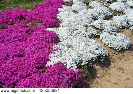A Close-up Of Creeping Phlox Flowers In The Garden. Blooming Phlox Subulata Is Covering The Ground W