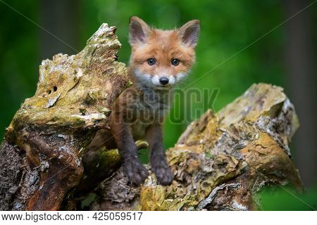 Red Fox, Vulpes Vulpes, Small Young Cub In Forest. Cute Little Wild Predators In Natural Environment