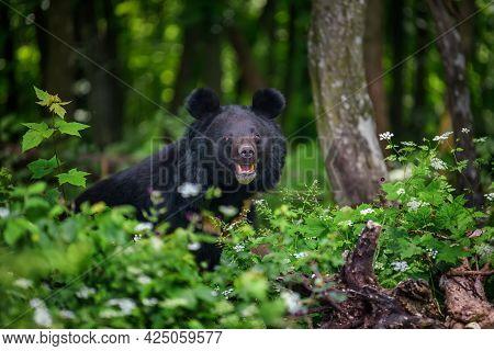 Asiatic Black Bear (ursus Thibetanus) In Summer Forest. Wildlife Scene From Nature