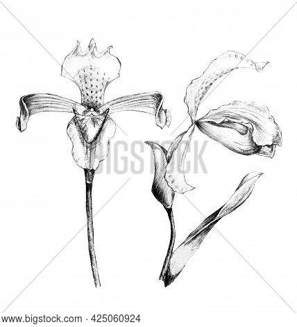 Hand Drawn Pencil Illustration Of Iris Flowers