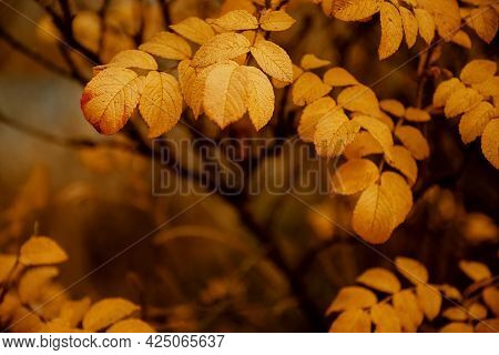 Yellow Wild Rosehip Leaves On Blurred Autumnal Background