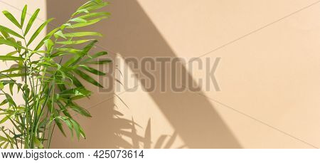 Decorative Hamedorea Or Areca Palm In The Sun Against The Background Of A Beige Wall. The Shadow Of